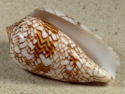 Conus archiepiscopus MG 6,9cm *Unikat*