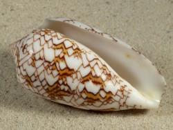 Conus archiepiscopus MG 7,1cm *Unikat*