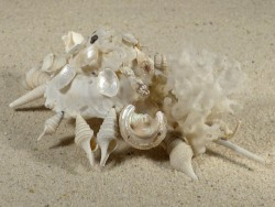 Xenophora pallidula PH 12,6cm *Unikat*