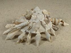 Xenophora pallidula m/O PH 12,9cm *Unikat*
