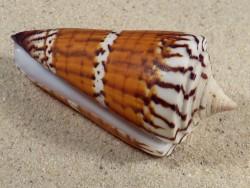 Conus generalis PH 7,2cm *unique*