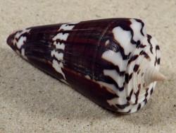 Conus generalis PH 7,1cm *Unikat*
