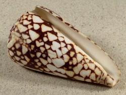 Conus bandanus PH 7,6cm *Unikat*