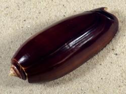 Oliva miniacea marrati PH 7,7cm *Unikat*