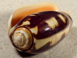 Oliva miniacea magnifica PH 8,7cm *Unikat*