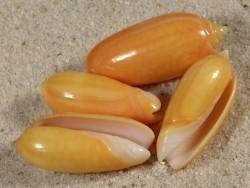 Oliva oliva flaveola PH 2,7+cm