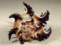 Hexaplex cichoreum w/o PH 10,5cm *unique*