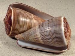 Conus figulinus 9+cm