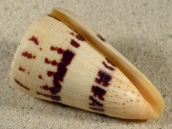 Conus augur MG 6,6cm *Unikat*