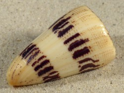 Conus augur MG 6,5cm *Unikat*