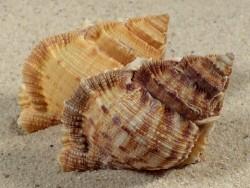 Bufonaria margaritula PH 5+cm