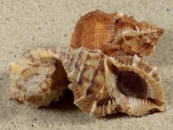 Bufonaria margaritula asymmetrisch m/O PH 4,4+cm