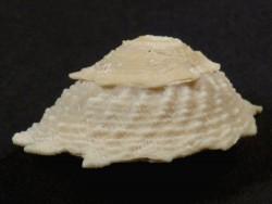 Lithopoma phoebium Pleistozän US 2,9cm *Unikat*