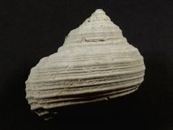 Turbo rhectogrammicus Pliozän US 4cm *Unikat*