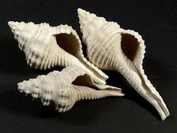 Heilprinia caloosaensis Pliozän US 4,7+cm
