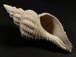 Terebraspira scalarina Pliozän US 10,1cm *Unikat*