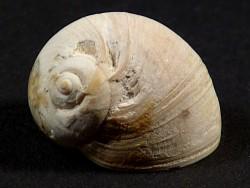 Naticarius stercusmuscarum Pliozän ES 1,8cm *Unikat*