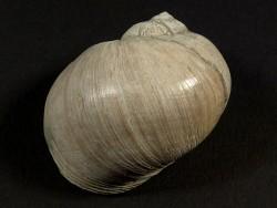 Naticarius stercusmuscarum Pliozän IT 3,6cm *Unikat*