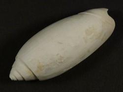 Oliva carolinensis Pliozän US 5,4cm *Unikat*