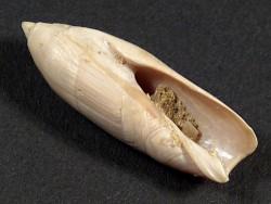 Ancillarina canalifera Eozän FR 2,9cm *Unikat*
