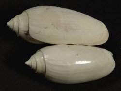 Oliva sayana Pliozän US 4+cm
