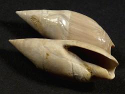 Ancilla buccinoides Eozän FR 2,9+cm