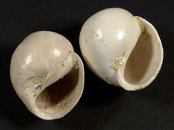 Ampullina depressa Eozän FR 2,5+cm
