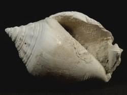 Strombus floridanus Pliocene US 7,4cm *unique*