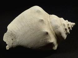 Strombus alatus Pliozän US 9,1cm *Unikat*