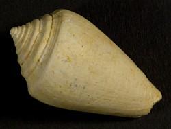 Conus saucatensis Miozän FR 3,2cm *Unikat*