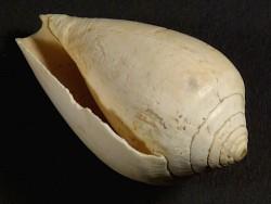 Conus deshayesi Pliozän ES 3,7cm *Unikat*