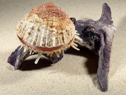 Malleus malleus mit Spondylus multisetosus PH 19cm *Unikat*