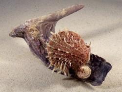 Malleus malleus mit Spondylus multisetosus PH 16,5cm *Unikat*