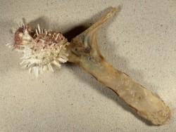 Malleus albus mit Spondylus variegatus PH 24cm *Unikat*