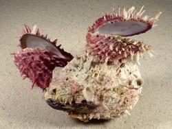 Spondylus multisetosus Cluster PH 15,5cm *Unikat*