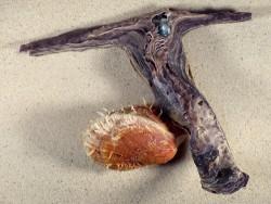 Malleus malleus mit Spondylus multisetosus PH 21,5cm *Unikat*