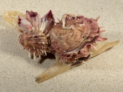 Spondylus multisetosus auf Malleus-Einzelklappe PH 16,5cm *Unikat*