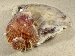 Placuna ephippium mit Spondylus multisetosus PH 15cm *Unikat*