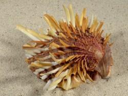 Spondylus zonalis PH 9cm *Unikat*