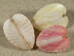 Lunulicardia hemicardium Farbenset PH 3,2+cm (x3)