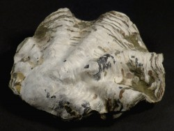 Nicaisolopha nicaisei Kreide PE 8,1cm *Unikat*