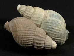 Nassarius reticosus Pliozän BE 3,2+cm