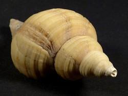 Neptunea contraria Pliozän BE 6,7cm *Unikat*