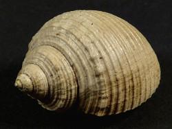 Galeodea bicatenata Pliozän BE 3,7cm *Unikat*