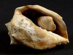 Athleta ficulina Miozän FR 4,7cm *Unikat*