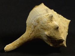 Tudicla rusticula Miozän FR 6cm *Unikat*