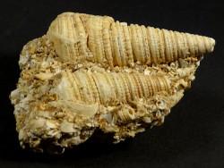 Mesohalina margaritacea Oligozän DE 6cm *Unikat*
