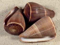 Conus figulinus 5+cm