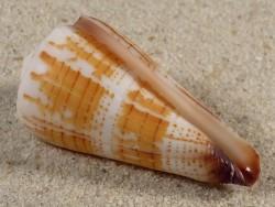 Conus maldivus (spirogloxus) EG 4,9cm *Unikat*