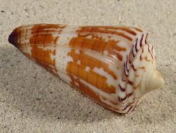 Conus maldivus (spirogloxus) EG 5,6cm *Unikat*